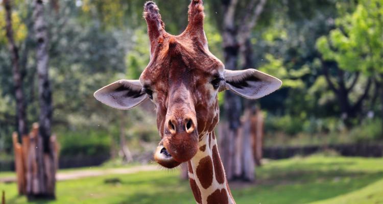 Dvur Kralove Zoo Žirafa 345624210