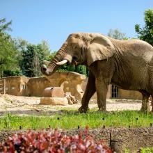 Dvur Kralove Zoo Dramblys 379004157